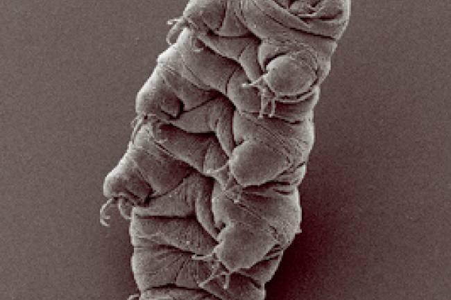 (LITERASI KELAS X) Mengenal Tardigrada, Hewan Super Kecil Yang Sangat Kuat
