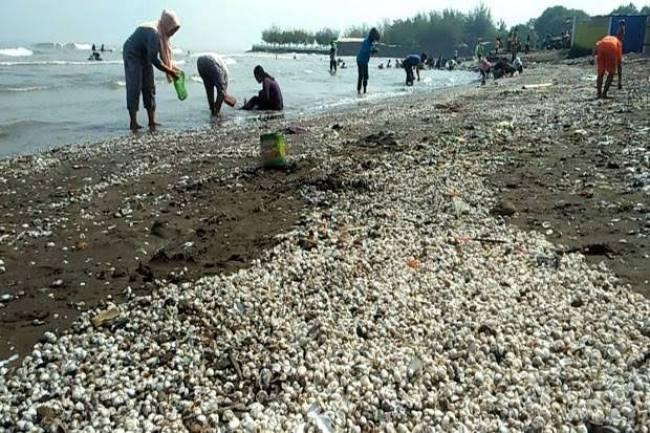 (LITERASI KELAS XI) Akibat Gelombang Tinggi, Ribuan Kerang Terdampar di Pantai Kendal