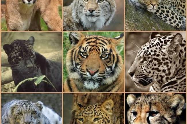 (LITERASI KELAS XI) Apakah Kucing Besar Juga Suka Mendengkur Seperti Kucing Rumahan?