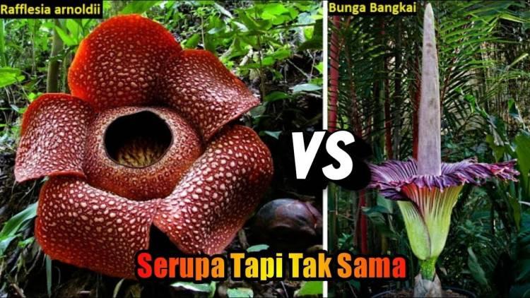 (Literasi Kelas X) Perbedaan Bunga Bangkai dan Rafflesia