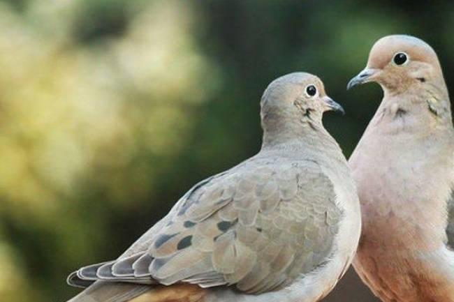 (Literasi Kelas XI) Burung Merpati Bisa Membaca dan Mengenali Kata, Apa Benar Begitu?