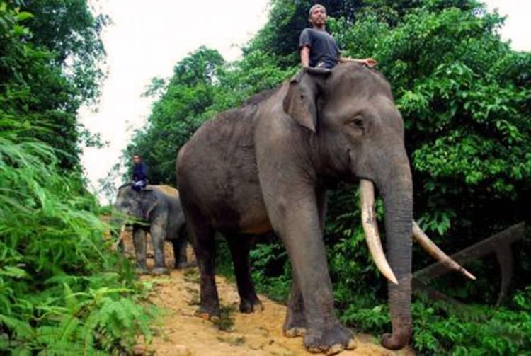 (Literasi Kelas XI) WWF-Indonesia Kampanyekan Konservasi Gajah Kalimantan di Malinau